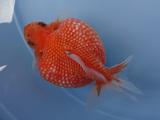 4月23日(金) 新入荷金魚のご案内です。(詳細有り)