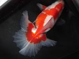 新入荷金魚のご案内です。(詳細有り)