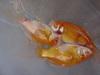 商品No2088 アルビノ透明鱗コメット