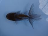 商品No2184 ベールテール青文魚