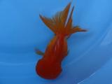 商品No2186 赤オランダ
